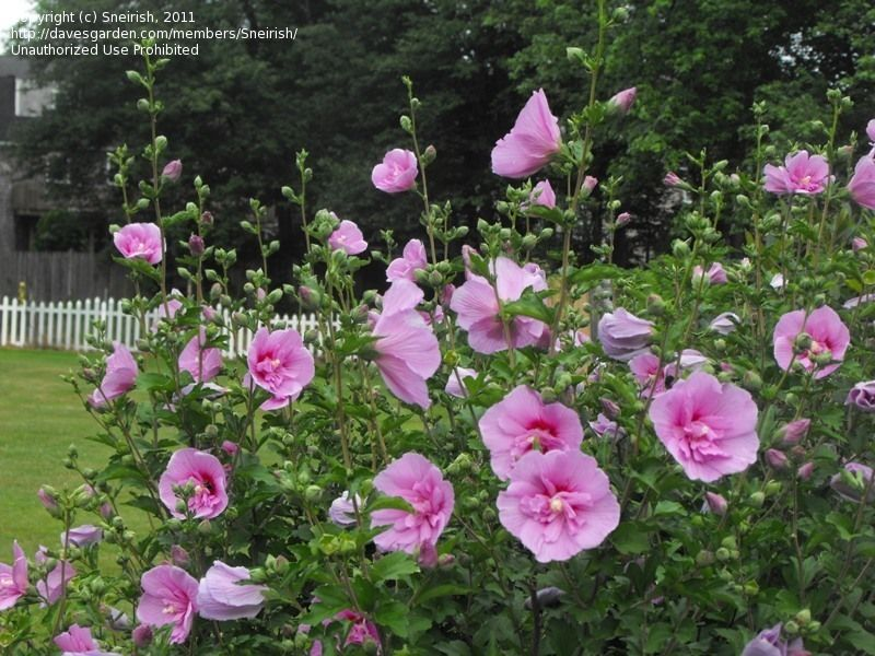 hibiscus syriacus lavender chiffon google search creatures flowers plants trees in. Black Bedroom Furniture Sets. Home Design Ideas