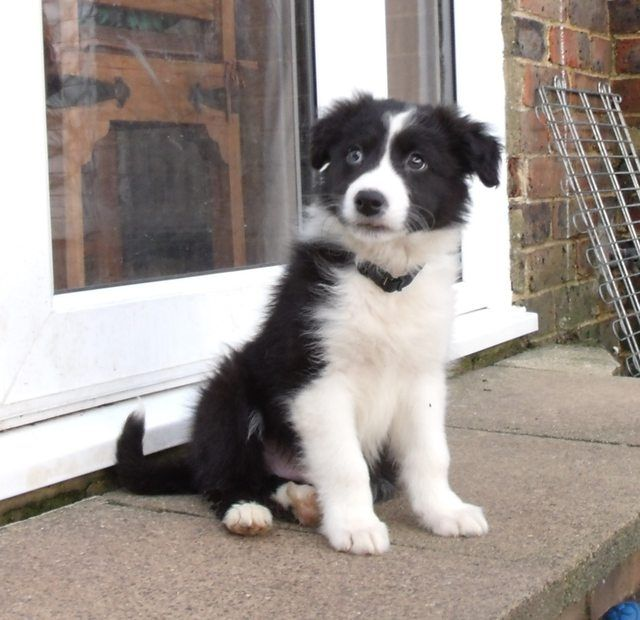 Alfie 10 Week Old Male Border Collie Available For Adoption