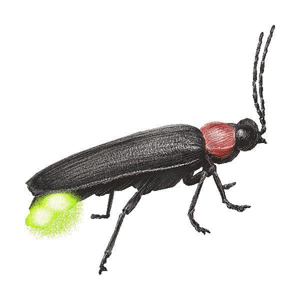 Japanese Firefly, Lightning Bug, Lampyridae clipart ...