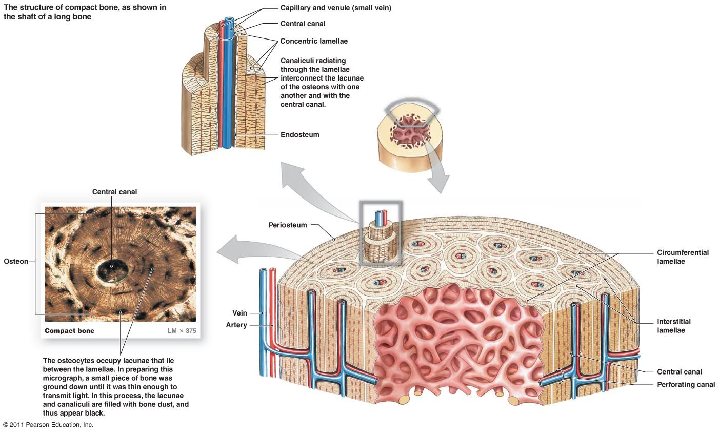 Compact Bone Diagram With Images