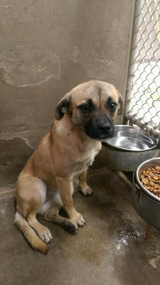 11 21 14 Odessa Urgent Pug Mix Female The Pound Is Full We Need