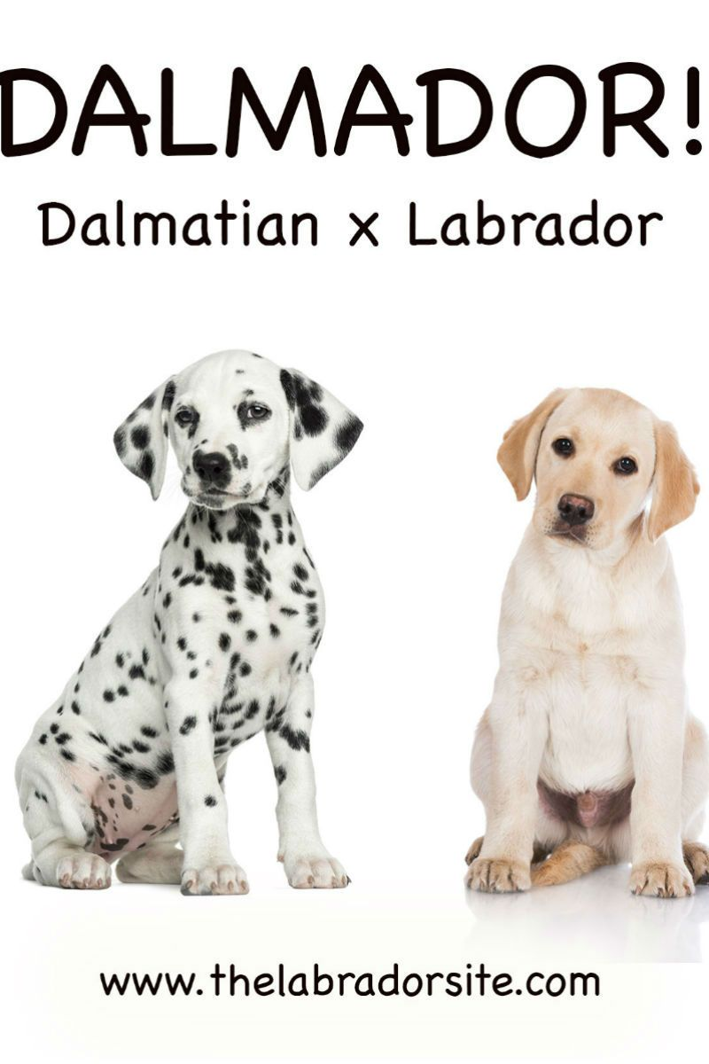 Dalmador Everything You Need To Know About The Dalmatian Lab Mix