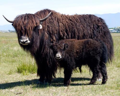 Yak And Yak Baby Animals Animals Beautiful Cow Calf