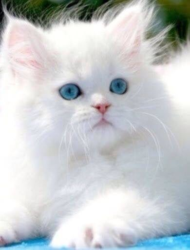 Cute White Cat With Big Blue Eyes Pretty Cats Cute Cats And