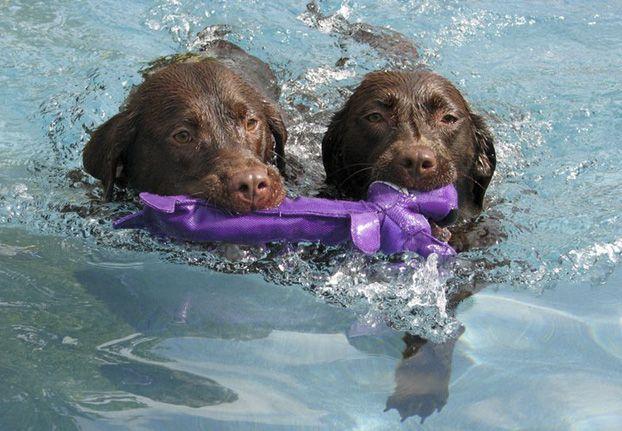 Abby And Callie Chocolate Labrador Retrievers From Katy Texas