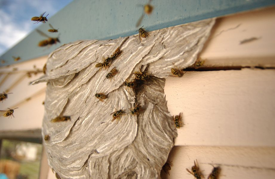 Aerial Yellowjacket nest, created on the side of a pool