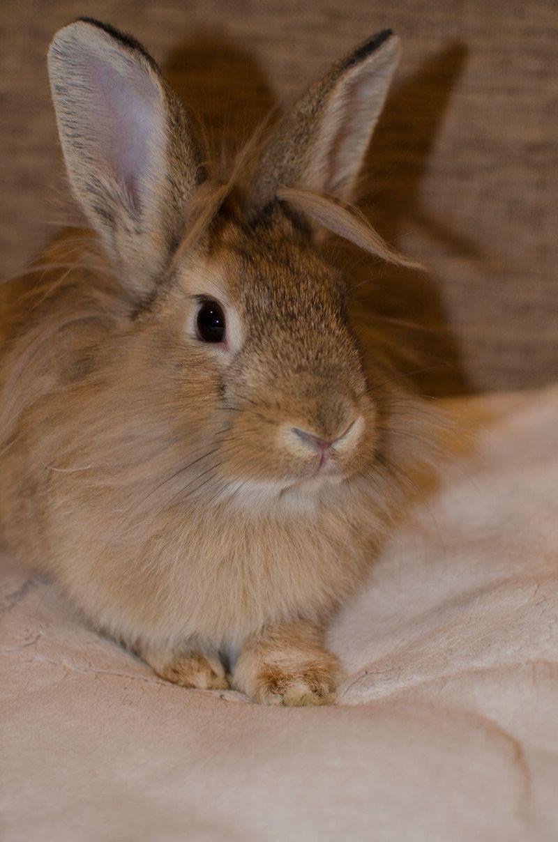 Petfinder  Adoptable | Rabbit | Lionhead | Forest Hills, NY | Nala