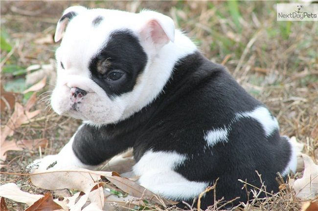 Black And White English Bulldog Puppies Zoe Fans Blog With Images Bulldog Puppies English Bulldog Puppies Bulldog