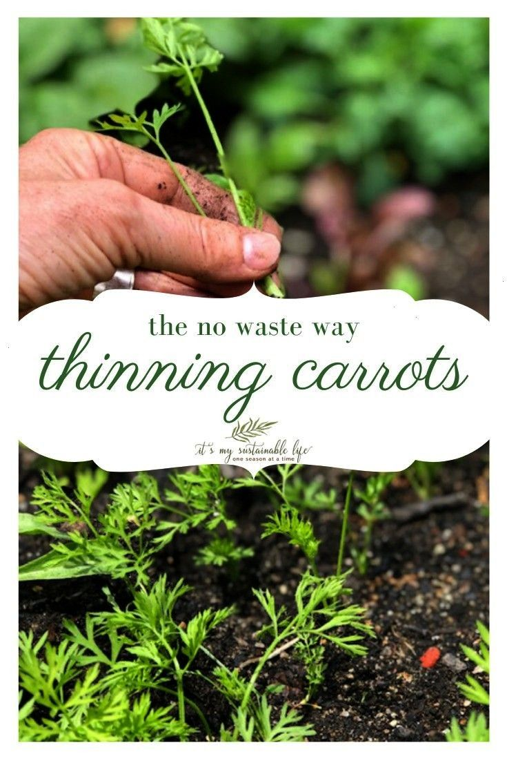 The No Waste Way  Thin Carrots The No Waste Way   Lessons from an eight year old on how to grow a plant a business a relationship or anything you choose How to grow straw...