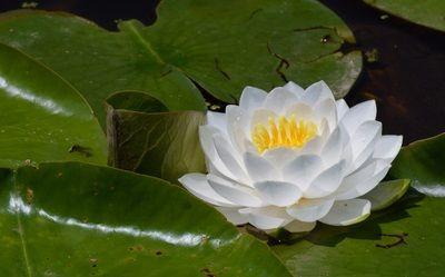 White lotus flowers beautiful images beautiful black and white white lotus flowers beautiful images beautiful black and white flowers pictures red yellow roses mightylinksfo