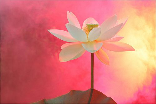 extraordinary and artistic photography. Surreal Lotus Flower - red / pink background - DD0A5869-1-1000