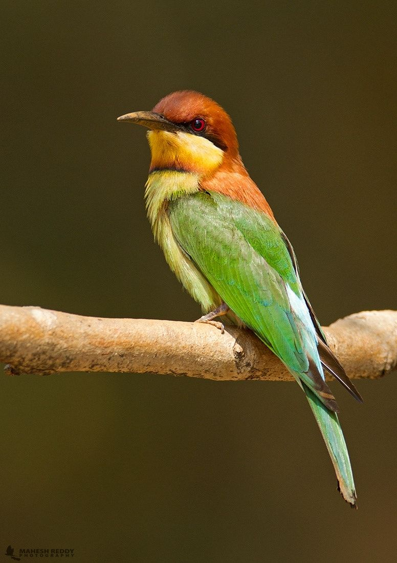 Chestnut-headed Bee-eater - | Bee eater, Colorful birds ... - photo#12