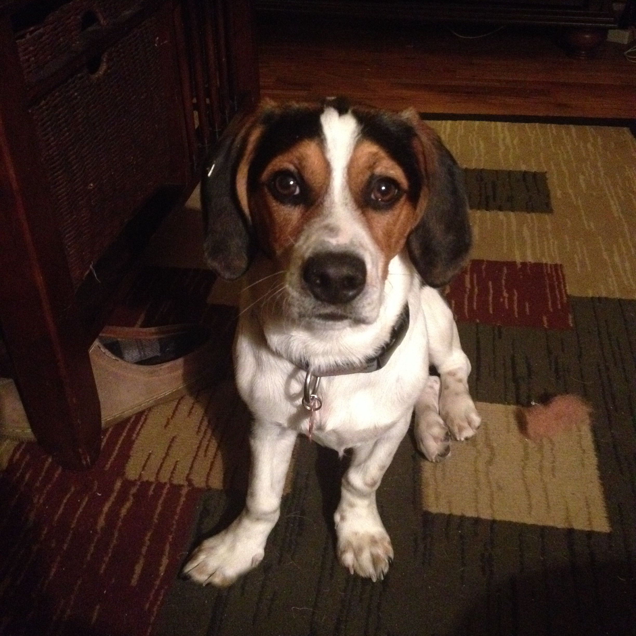 Basset Hound Jack Russell mix puppy adorable   Cute ...