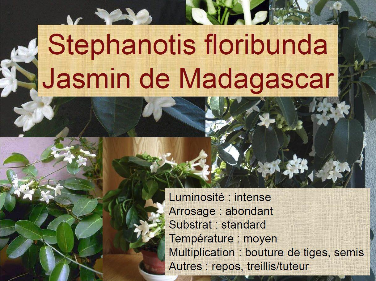 Stephanotis Floribunda Jasmin De Madagascar Suculentas