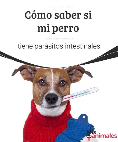 tratamiento de parásitos en sangre de perro