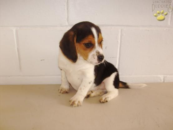 Bubba Beagle Puppy For Sale In Sugarcreek Oh Lancaster