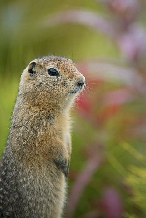 ARCTIC GROUND SQUIRREL, ALASKA by Cathy Hart
