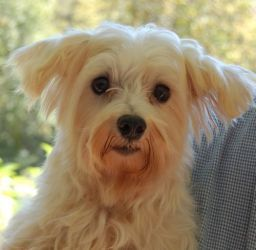 Eugene (NC) is an adoptable Maltese Dog in Smithfield, NC. NOTE: SCMR DOES NOT adopt to homes with children under the age of 10 years or homes with Electric Fences . Eugene is a cute, mellow little gu...