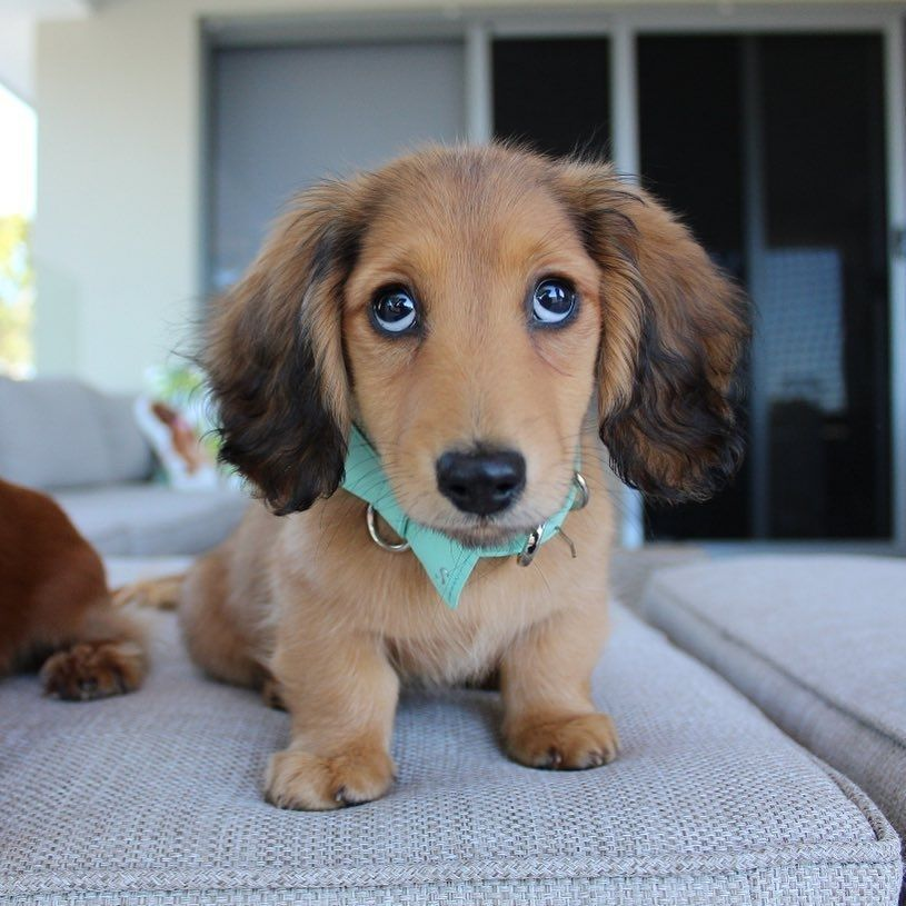 Could You Say No To This Face Credi Dachshund Dapple