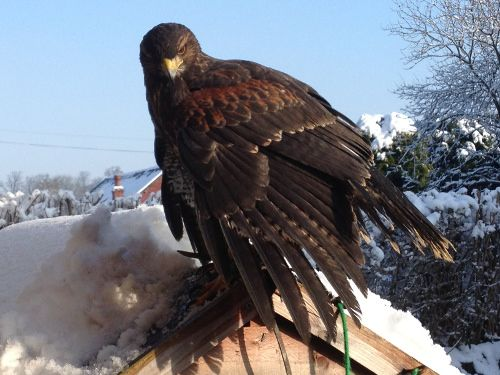 Storm the Harris Hawk . Hatched July 2012