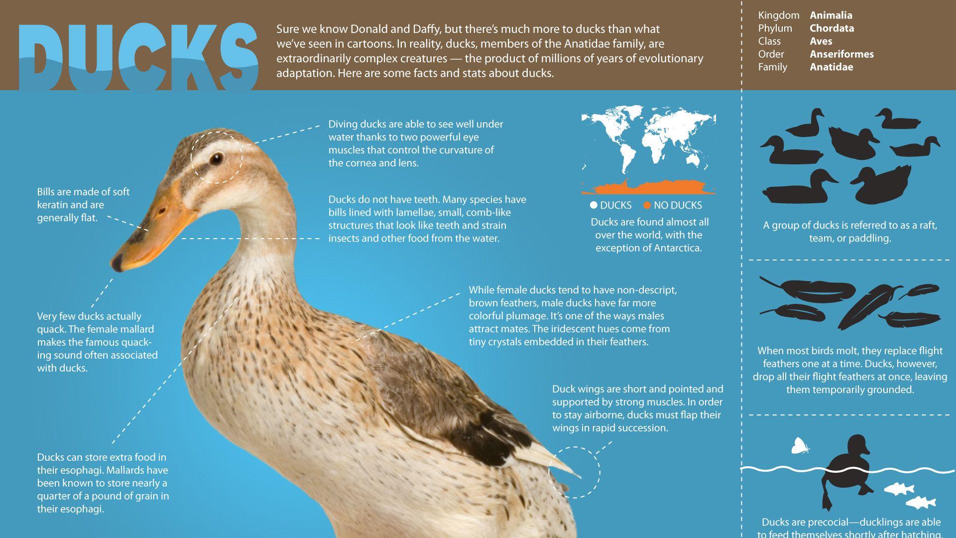 Image result for duck anatomy | Ducks | Pinterest | Anatomy