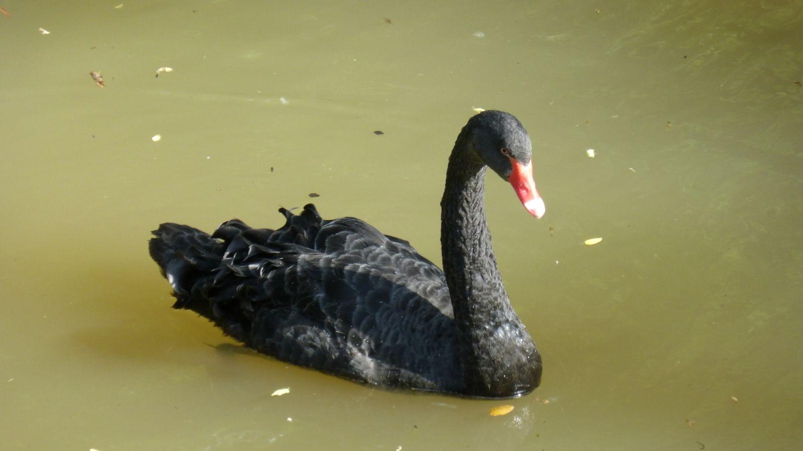 обеденый нашествие черный лебедь фото прямо