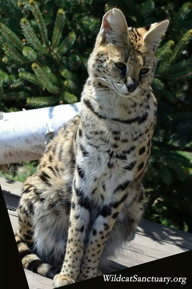 Lizzy the serval at Wild Cat Sanctuary.