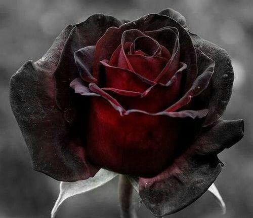7 Most Beautiful Black Roses Flowers Pinterest Gothic Garden