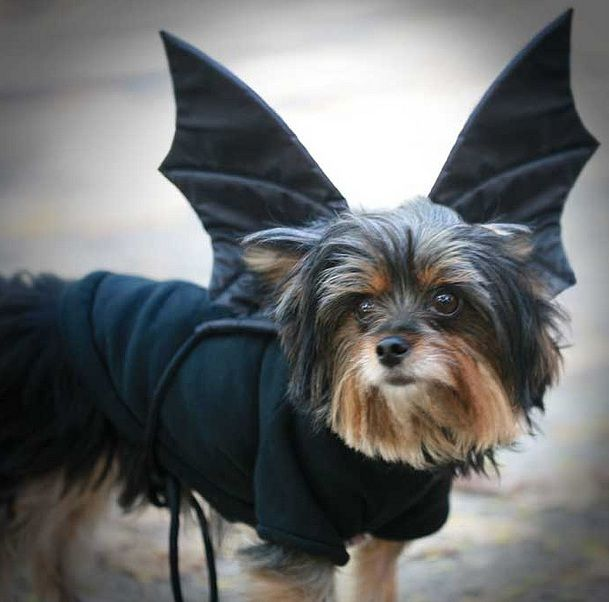 10 Costumes That Prove Yorkshire Terriers Always Win At Halloween Yorkshire Terrier Yorkshire Terrier Funny Yorkie Yorkshire Terrier