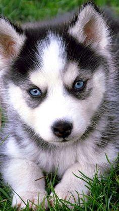 Pomeranian Husky Puppy With Blue Eyes I D Name Mine Sky With