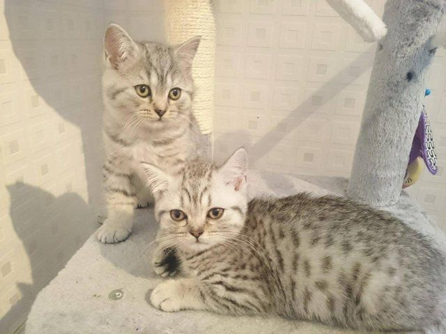 Cats Cats And Kittens For Sale In Merseyside Preloved Cats