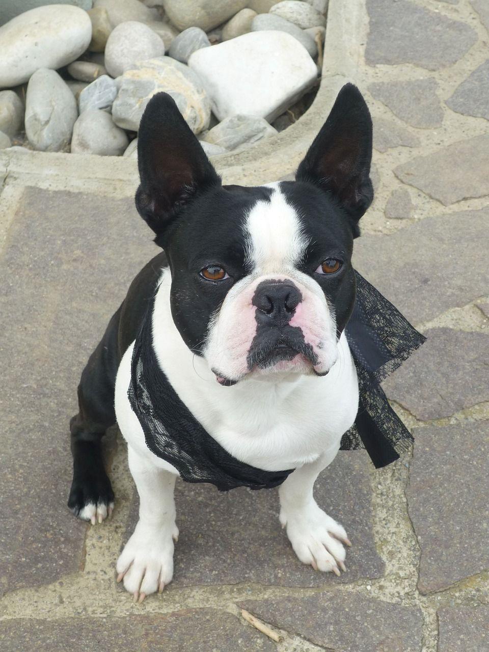 lilac english bulldog health issues