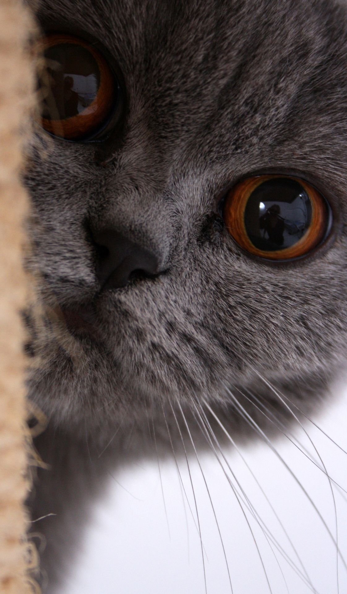 British Shorthair Blue Crazy Cats Cute Animals Grey Cats