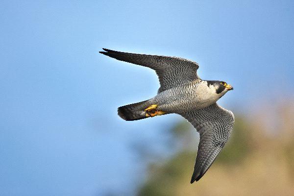 Falcó Pelegrí Halcón Peregrino Falco Peregrinus Peregrine Falcon Halcon Peregrino Halcon Peregrino