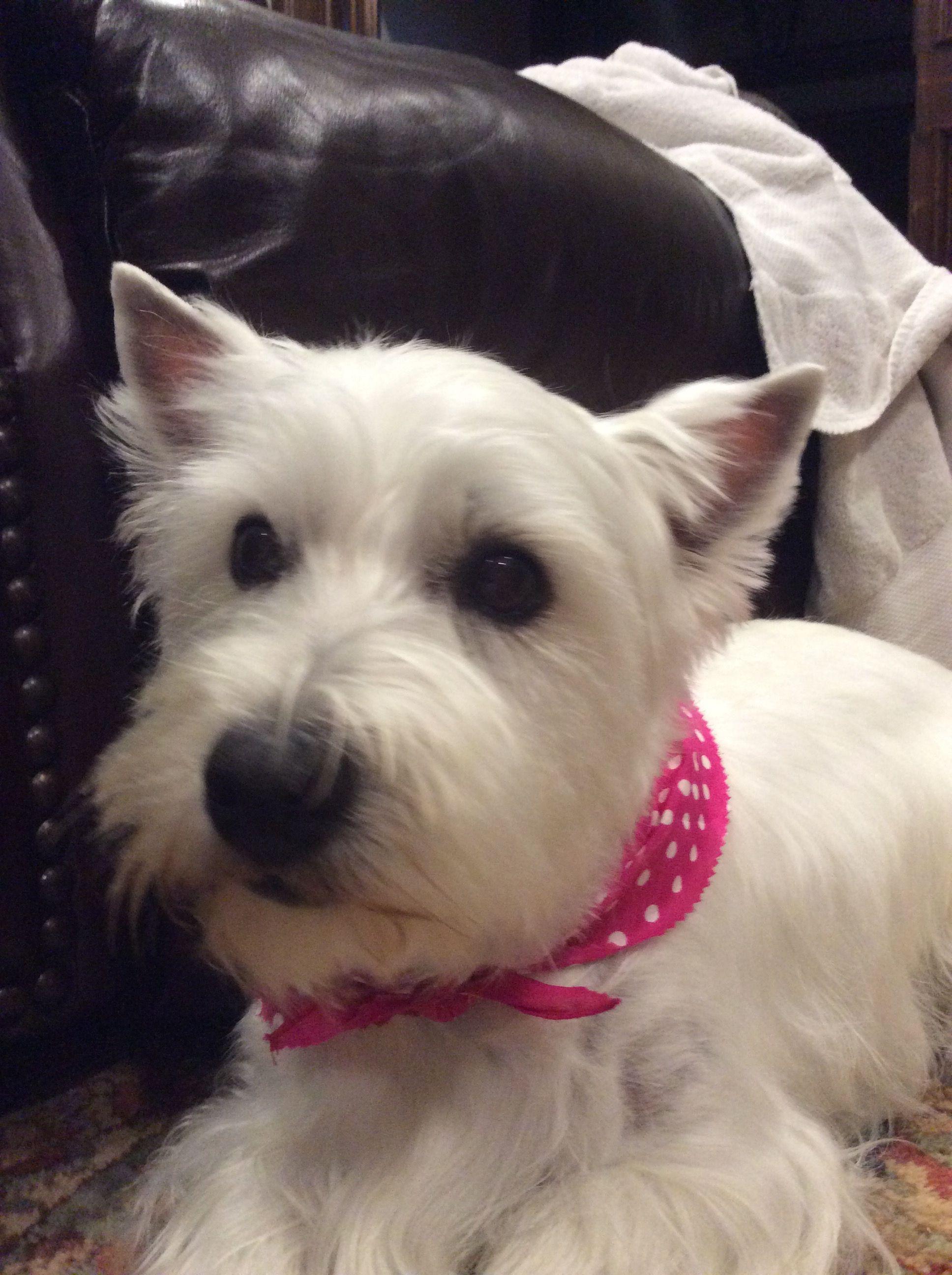 Sydney Spencer Westie West Highland Terrier Westies West Highland White Terrier