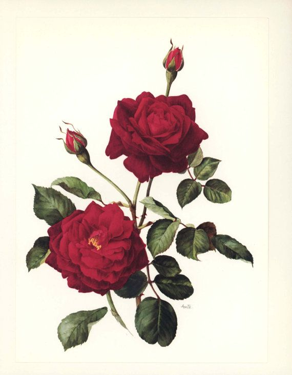 Vintage French Decor Guinee Rose Wall Art от ParagonVintagePrints