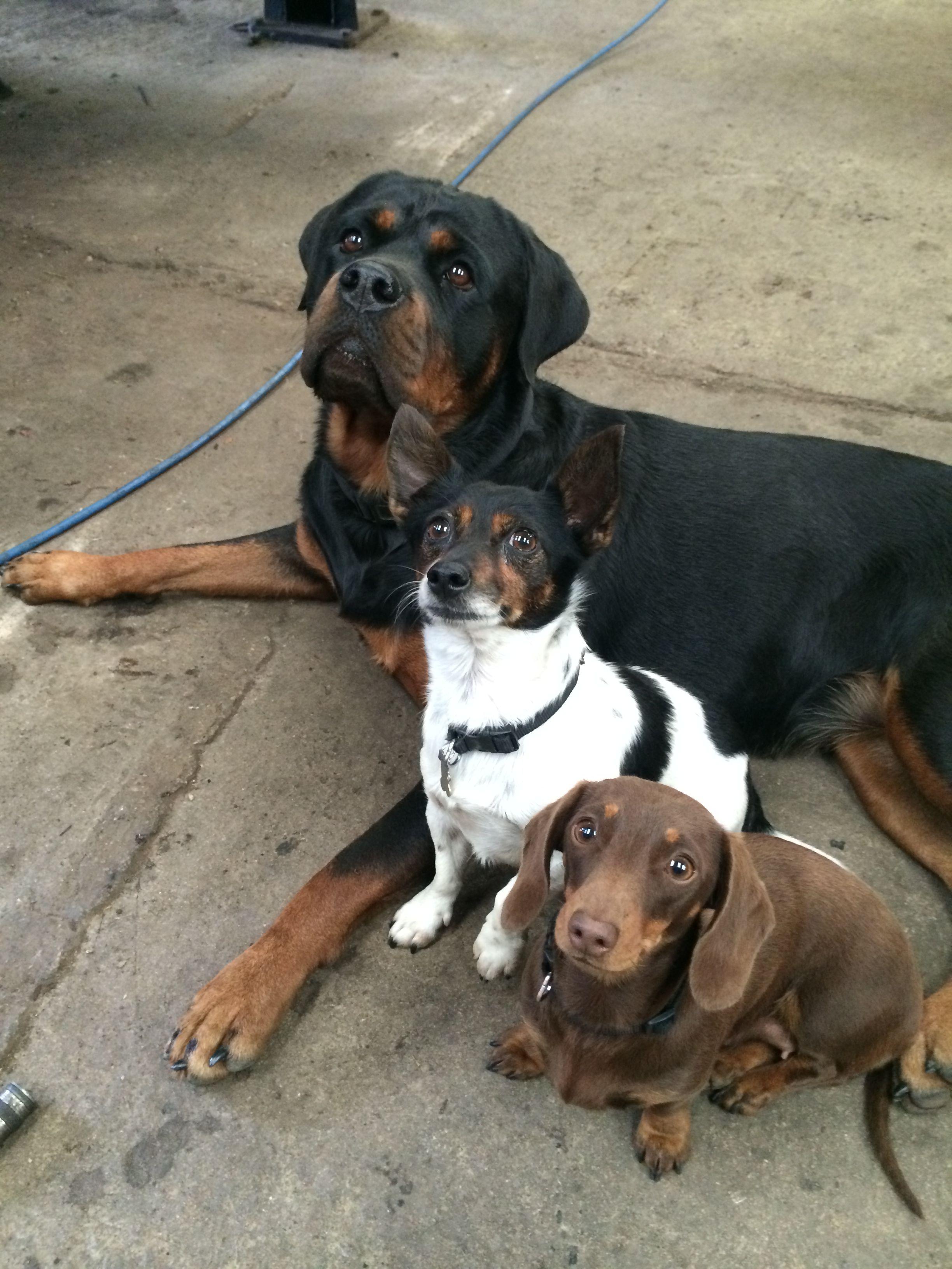 Sasha, Squiffy & Silly -  Rottweiler, Jack Russell & Dachshund