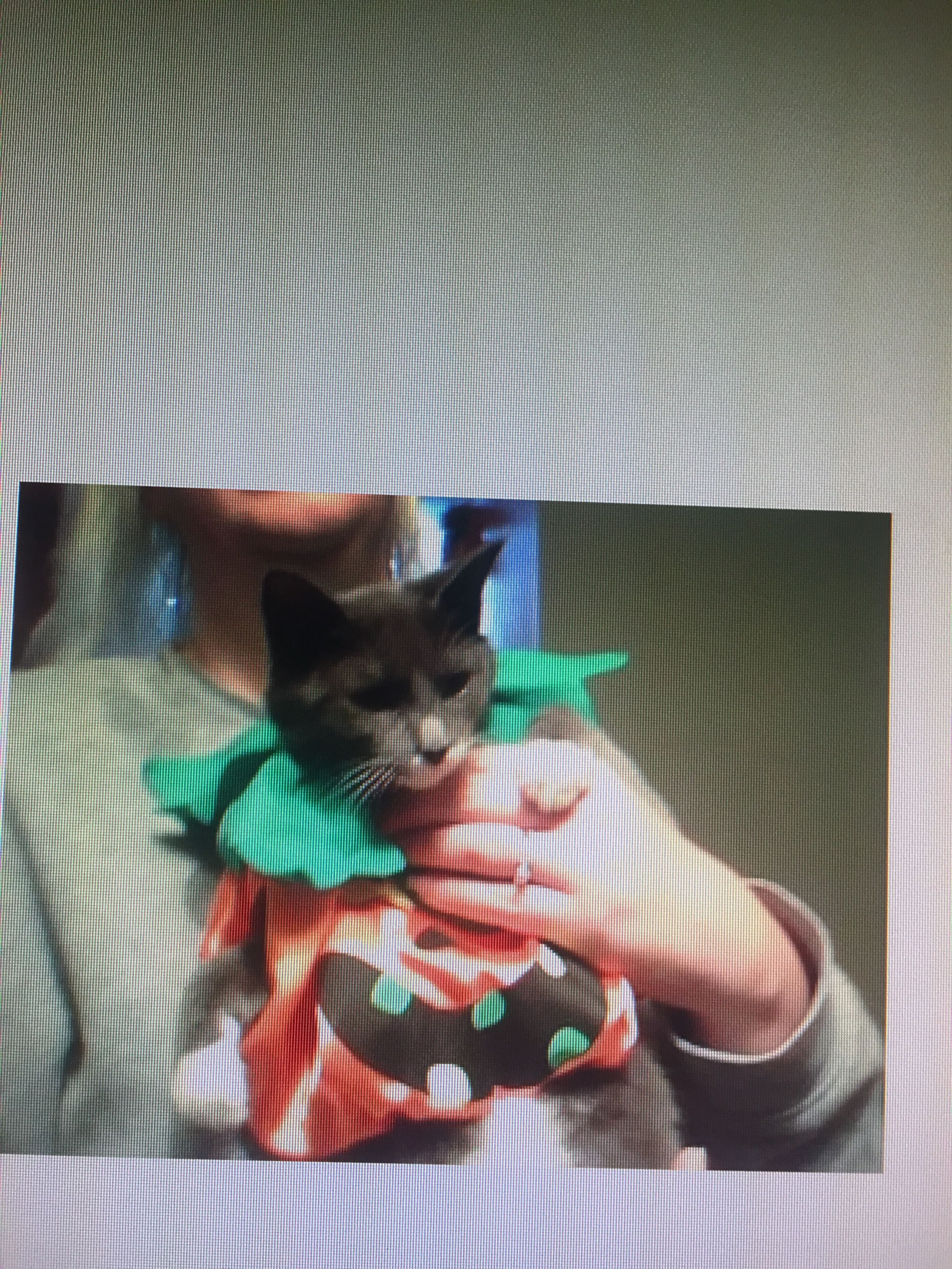 My cat Sedgwick dressed for Halloween