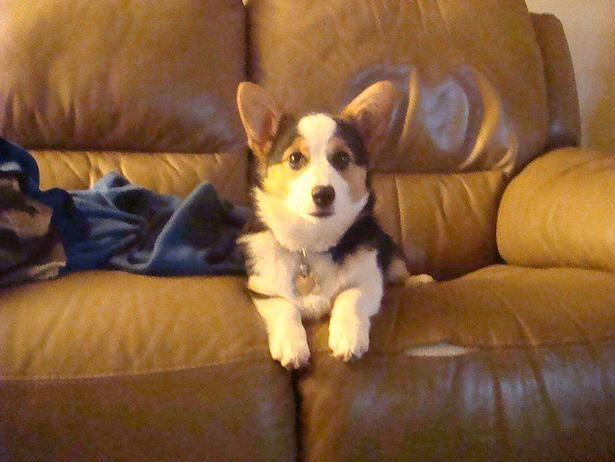 The Oregon Optimist Dog Lovers Rally Around Murdered Corgi S