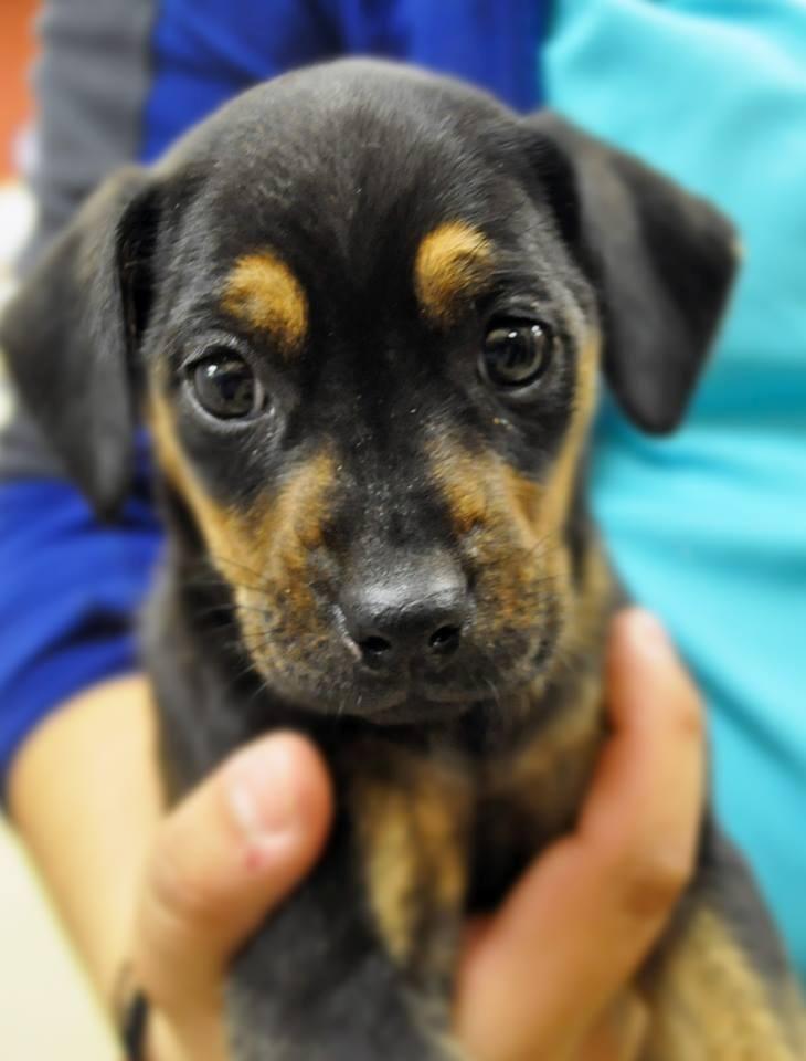 Adopt Riplee on Dogs, Miniature pinscher, Dachshund mix