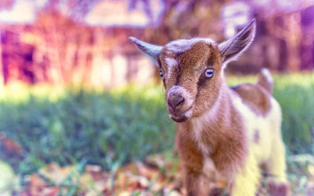 Cute Goat Baby Hd Wallpaper Here You Can Download Free Cute Goat Baby High Resolution Desktop Background For Widescreen Photos In Hd Cute Goats Animals Goats