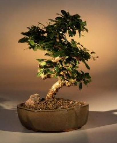 Fukien tea indoor bonsai tree with curved trunk indoor bonsai small white flowers fukien tea indoor bonsai tree with curved trunk mightylinksfo