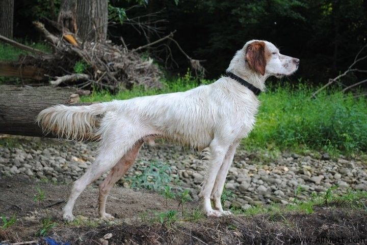 english setter hunting dogs - the dog wallpaper - best the dog