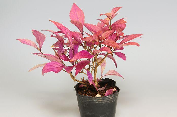 紫式部 盆栽 作り方