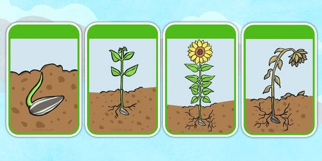 Image result for sunflower life cycle clip art