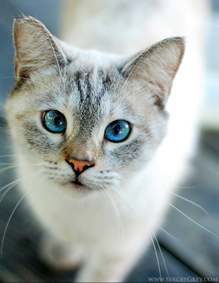blue eyed kitty with orange/pink nose Cute cats