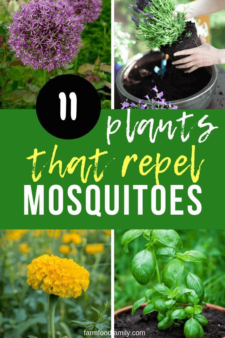 Perennial Mosquito Repellant Plants & Plants Mosquito Repellant #plantsthatrepelmosquitoes