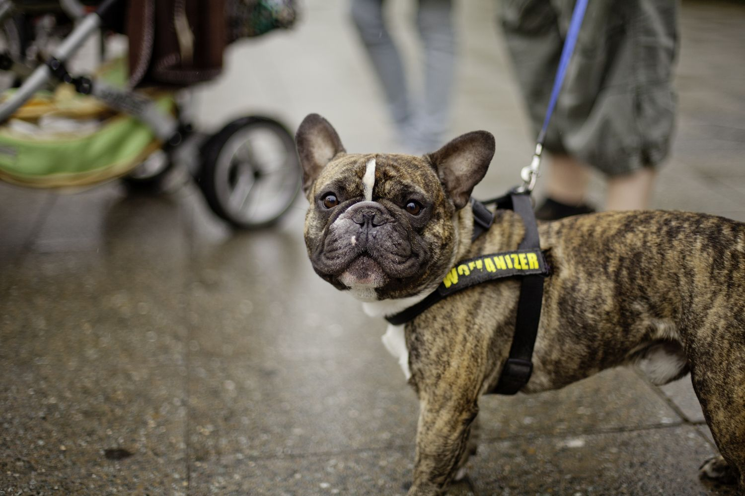 Gorgeous Tiger Brindle Frenchie Brindle French Bulldog French Bulldog Puppies Bulldog