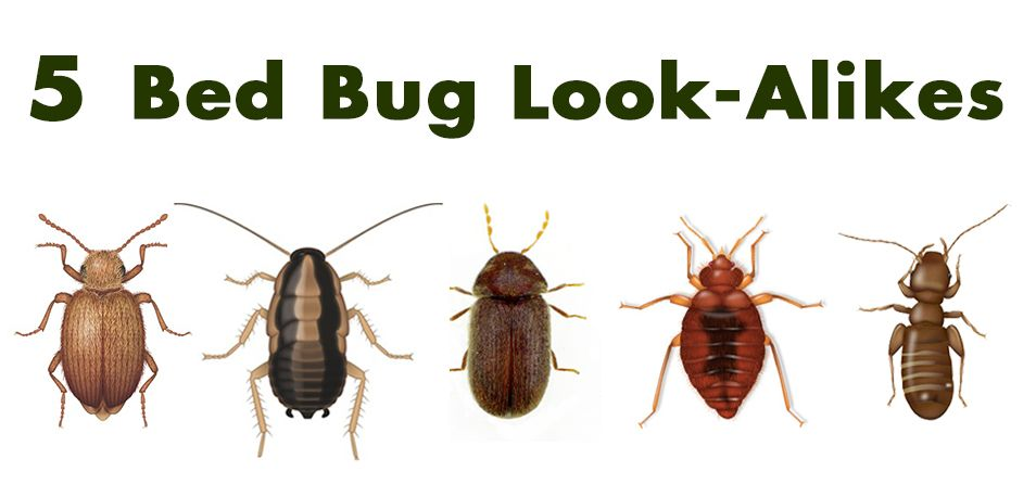 Five Bed Bug Look A Likes Bedbugs Http Www Pctonline Com