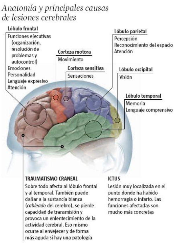 Partes del cerebro y principales causas de lesiones cerebrales ...